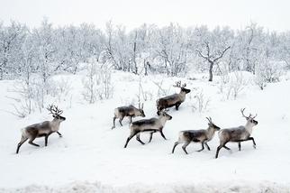 移動中的馴鹿