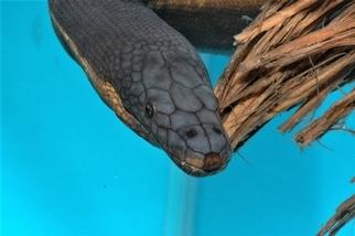 【老杜聊海蛇】大西洋中為何沒有海蛇? 讓我們從黑背海蛇聊起……