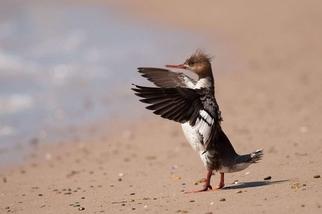 紅胸秋沙鴨