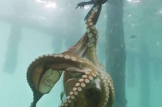 當海豹對上章魚