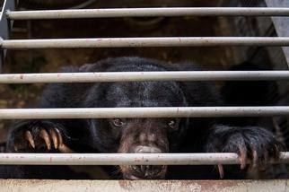 中國將熊膽推廣為冠狀病毒療法,動保人士因此感到擔憂