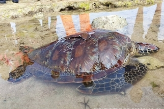 海保署公布今年第一季擱淺報告 累計通報鯨豚44隻、海龜101隻