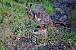 有做有差 保育行動有助於受脅哺乳動物 澳洲研究:20年族群量增46%