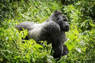 山地大猩猩的家園不平靜 剛果維龍加國家公園12名護管員遭殺害