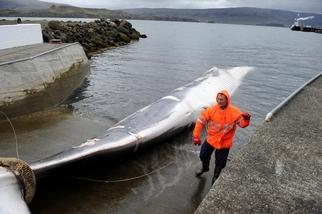 商業捕鯨在冰島可能已經玩完了