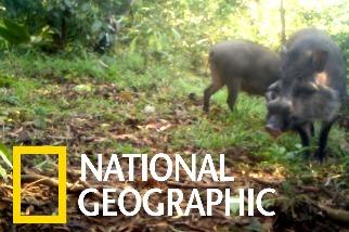 這可能是世界上最稀有的豬