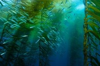 無可取代的加州「巨藻森林」正受暖化威脅,還有機會拯救它們嗎?