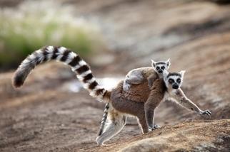 費洛蒙如何幫助蜂后統治蜂群、讓狐猴「把妹」?