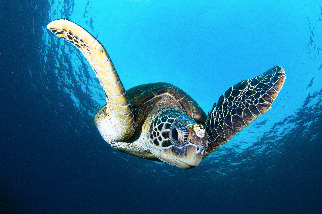 住在海龜身上的「超跑藤壺」