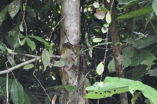 百年前一度消失 如今再度重現 菲律賓拯救傳說之樹橢圓葉青梅