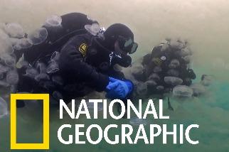海月水母神奇的繁殖策略