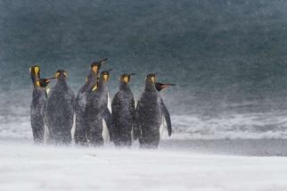 風雪中的國王企鵝