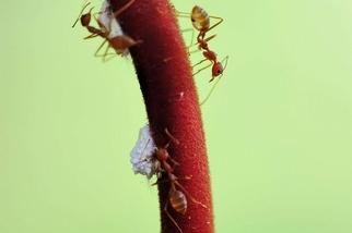 赫蕉上的螞蟻