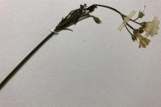 全球每八秒誕生一份植物標本 大自然的時空館藏 千元鈔上的塔塔加薊「驗明正身」就靠它