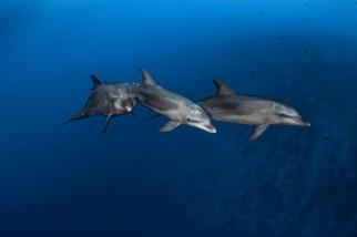 海豚會向同儕學習使用工具,跟猿類一樣!