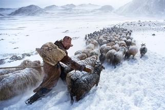 雪地上的羊群