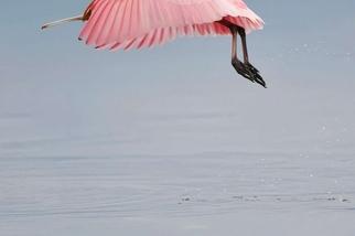 早晨的玫瑰琵鷺