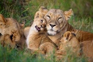 小獅與媽媽