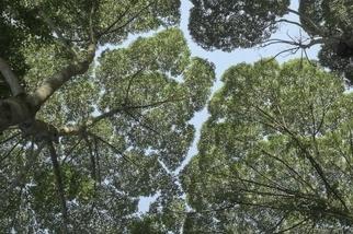 為了躲避疾病,有些樹木也會實踐「社交疏離」!