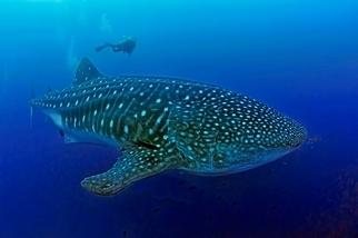 海洋最大謎團──沒人看過鯨鯊生小孩 科學家取得腹部超音波仍無果