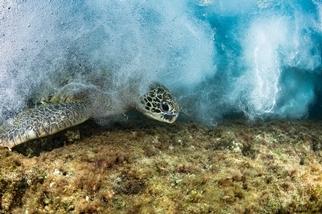 3000公里的旅行──來自太平洋小島的海龜R36192