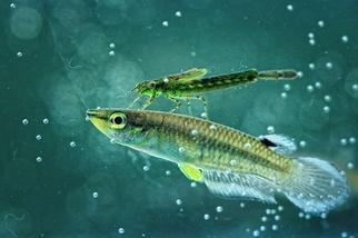 魚和豆娘幼蟲