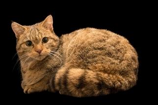 家貓祖先的遺骸出現在波蘭的洞穴中──離家3218公里遠!