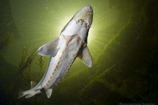 首份全球報告:1970年以來 洄游性淡水魚族群下降76%