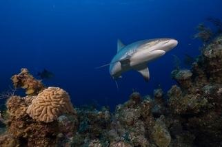 跨58國水下調查:鯊魚在19%珊瑚礁中功能性滅絕