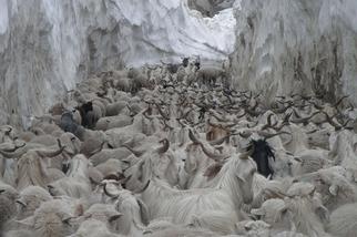 喜馬拉雅山上的綿羊和山羊