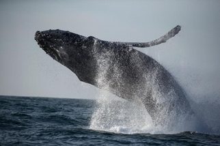 因疫情而安靜的海洋可望讓鯨魚「紓壓」並改善健康