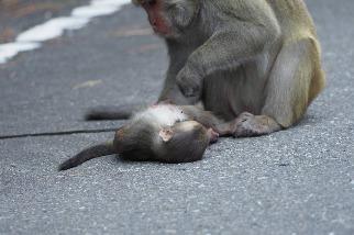 塔塔加路殺悲歌 獼猴橫死公路十天兩起 玉管處加強宣導