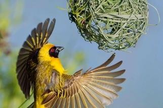 辛勤築家的織巢鳥