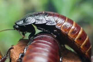 大蟑螂絕招──蛋蛋增長術!