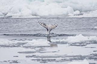 捕鯨的季節
