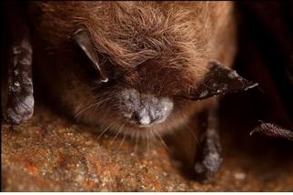 蝙蝠正面臨一場「白鼻」浩劫,科學能拯救牠們嗎?