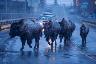 野牛逛大街