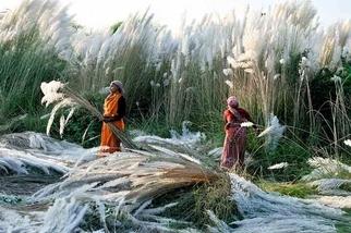 印度:收割蘆葦