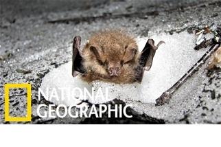 罕見畫面:藏在雪洞中冬眠的蝙蝠