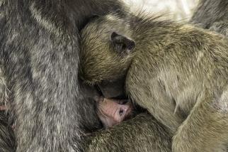哺乳中的狒狒