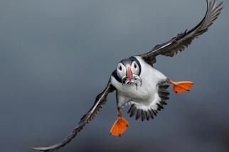 影像藝廊:北極海鸚