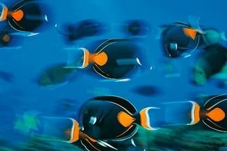 悠游珊瑚礁:心斑刺尾鯛