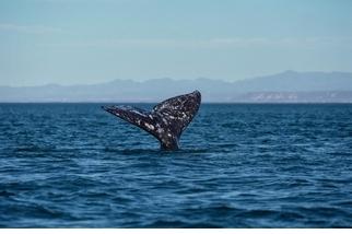 灰鯨打破哺乳類最長距離遷移紀錄