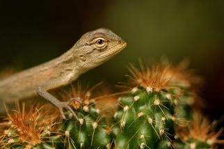 印度:花園裡的蜥蜴