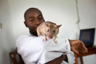 巨鼠可以嗅出結核病!