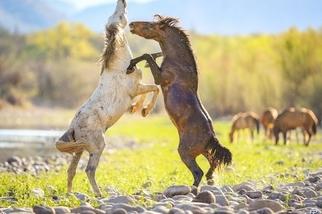美洲野馬@亞利桑那州鹽河