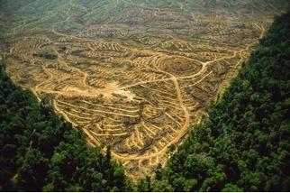 油棕櫚讓野豬加速繁殖,恐危害周遭森林