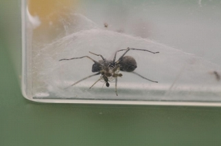 不只是哺乳類:有些蜘蛛也會以母乳哺育幼蛛