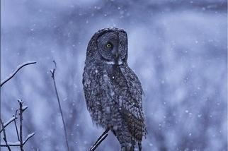 雪中貓頭鷹