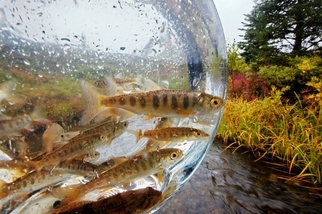 鮭與鱒,阿拉斯加